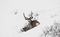 January 2017 the sagebrush helps create a place for the mule deer to stand in the deep snow it is also one of the only food supplies for the deer untill the southern slopes begin to melt.