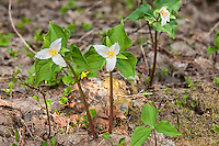 A group of a western trilliums at the top of Snoqualmie Pass in the Cascade Mountains in Washginton.