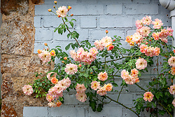 Rosa 'Phyllis Bide' AGM trained against a painted blue wall at Pettifers, Oxfordshire