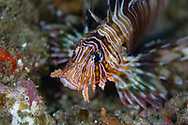 Red lionfish-Rascasse volante (Pterois volitans), indian ocean, South Africa.