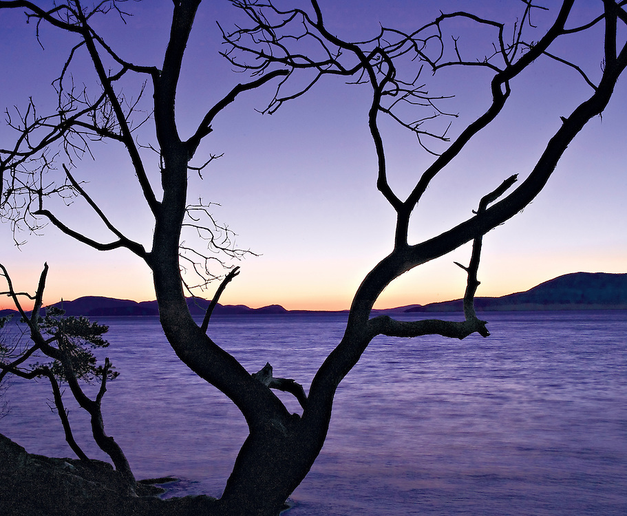 Weathered and Sihouetted Madrone Tree in the Twilight on The Shores of Samish Bay, San Juan Islands, Washington State
