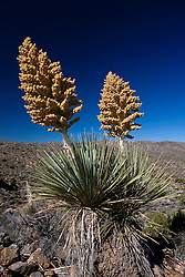 Blooming Mojave yucca plant (Yucca schidigera), Joshua Tree National Park, California, United States of America