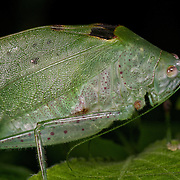 Insects in the family Tettigoniidae are commonly called katydids or bush-crickets. They are also known as long-horned grasshoppers, although they are more closely related to crickets than to grasshoppers.