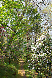 Path through woodland with Rhododendron 'Loder's White' AGM. Greencombe Gardens, Porlock, Somerset