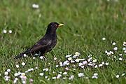 Blackbird, New Zealand