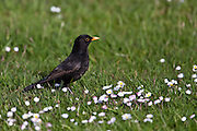 Blackbird, New Zealand