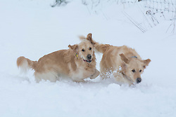 Fado and Luca frolic in the snow near Springfield, inland Canterbury, New Zealand, Thursday, July 13, 2017. Credit:  SNPA / David Alexander -NO ARCHIVING-