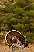 Wild turkeys with male displaying in spring. Yaak Valley, Montana.