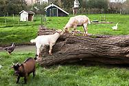 Europa, Niederlande, Zeeland, Ziegen und Gefluegel auf einem Bauernhof.<br /> <br /> Europe, Netherlands, Zeeland, goats and poultry on a farm.