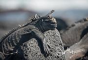 A lava lizard rests on top of a Marine Iguana on Fernandina island, Galapagos islands, Ecuador.