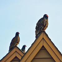 Turkey Vultures on a Rooftop Waiting to Warm in the Morning Sun. Image taken with a Nikon 1 V2 FT1 adapter and 70-200 mm f/2.8 VRII lens (ISO 160, 200 mm, f/2.8, 1/1600 sec).
