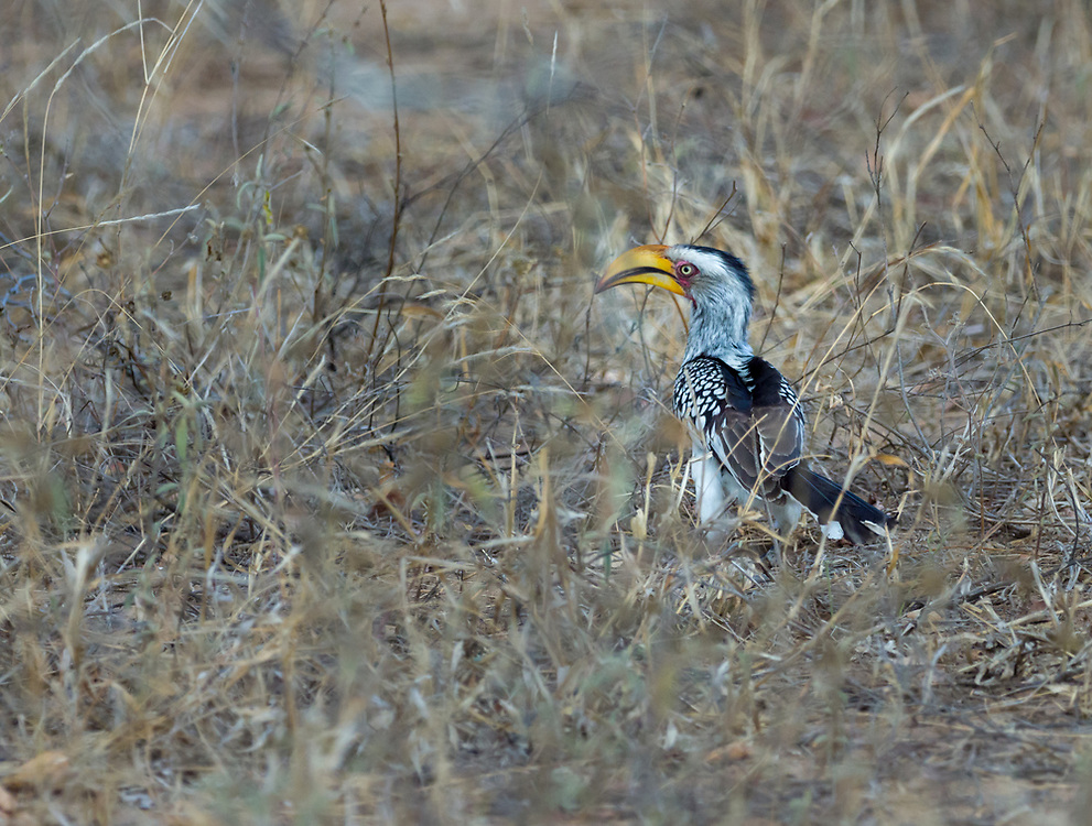 Yellow billed horn bill commonly seen in scrub and dry woodland areas, particularly in the Kruger National Park.