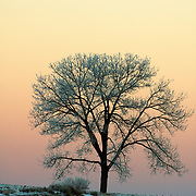 A cottonwood tree stands out against the yellow - orange sky at dusk near Story, Woming.  New Year's Day 2005.