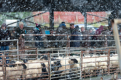 © Licensed to London News Pictures. 08/12/2016. Builth Wells, Powys, Wales, UK. Snow falls at the sheep market in Builth Wells (130 metres above sea level) in Powys, Wales, UK. Photo credit: Graham M. Lawrence/LNP