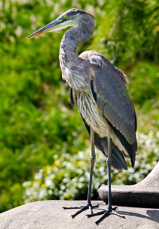 An immature great blue heron in the Japanese Gardens.