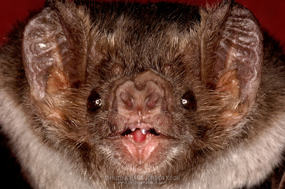Deu, Deutschland: Vampirfledermaus (Desmodus rotundus), Portraet, close-up, grosse Ohren, Universitaet Bonn, Nordrhein-Westfalen | DEU, Germany: Vampire Bat (Desmodus rotundus), portrait, close-up, big ears, university of Bonn, North Rhine-Westphalia