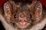Deu, Deutschland: Vampirfledermaus (Desmodus rotundus), Portraet, close-up, grosse Ohren, Universitaet Bonn, Nordrhein-Westfalen | DEU, Germany: Vampire Bat (Desmodus rotundus), portrait, close-up, big ears, university of Bonn, North Rhine-Westphalia