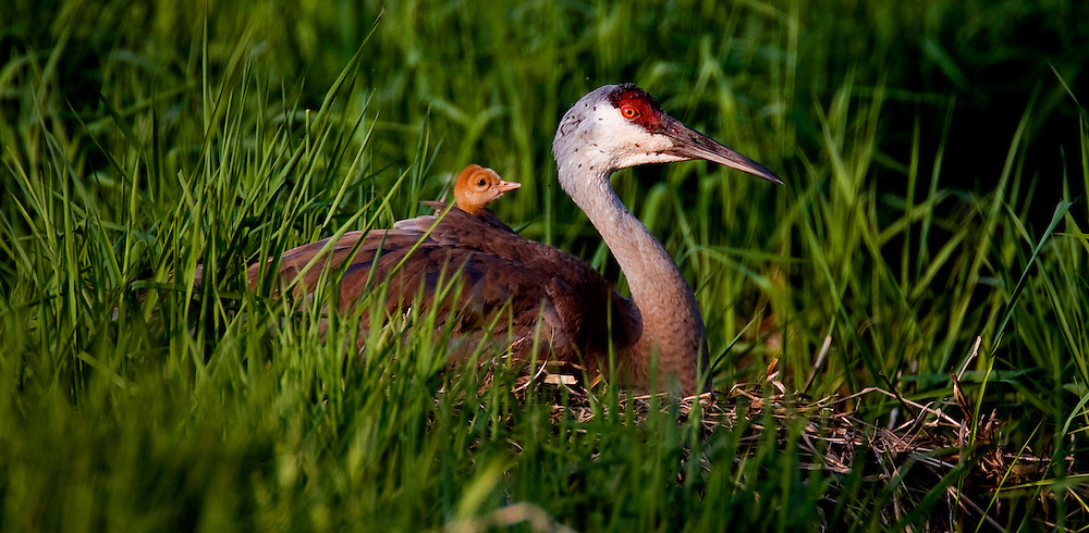 A Sandhill Crane chick peaks out from it's mothers back as she sits on the nest.  Cranes nest in wetlands and take turns incubating the eggs until hatch about thirty days later.  Photo by Tom Lynn