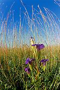 Fringed Gentian (Gentiana crinita  or Gentianopsis crinita)<br />Tolstoi Tall Grass Prairie Preserve<br />Manitoba<br />Canada