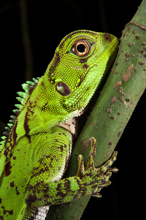 Guichenot's Dwarf Iguana (Enyaliodes laticeps)<br /> Yasuni National Park, Amazon Rainforest<br /> ECUADOR. South America<br /> HABITAT & RANGE: Native to Western Amazonian forests from Colombia, Ecuador, Peru and Brazil.