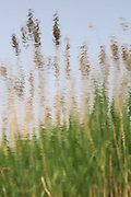 Inverted reflection of reeds at the London Wetland Centre, Barnes, London,