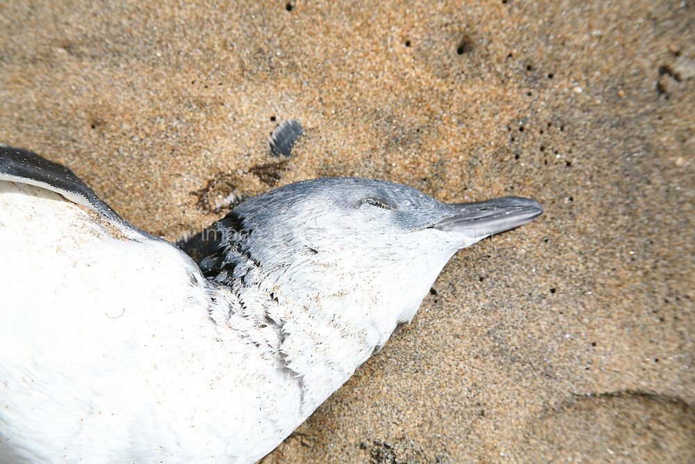 Dead Fairy Penguin on the beach at Burnie Tasmania