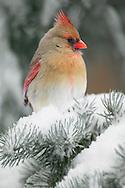 Female Northern Cardinal in snowy tree