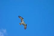 Osprey (Pandion haliaetus), , Alberta, Canada