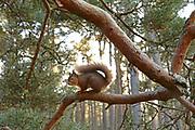 Red Squirrel (Sciurus vulgaris) in old pine forest habitat; in the Cairngorms National Park,Scotland