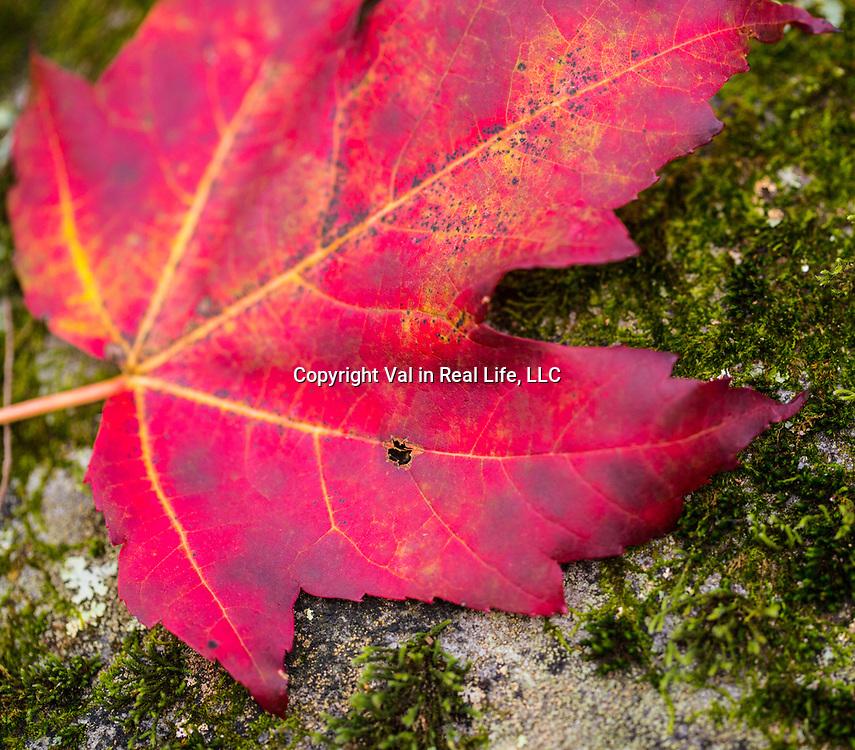 Red maple leaf on mossy log