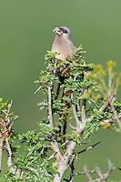 Speckled Mousebird feeding on small flowers, Addo Elephant National Park, Eastern Cape, South Africa