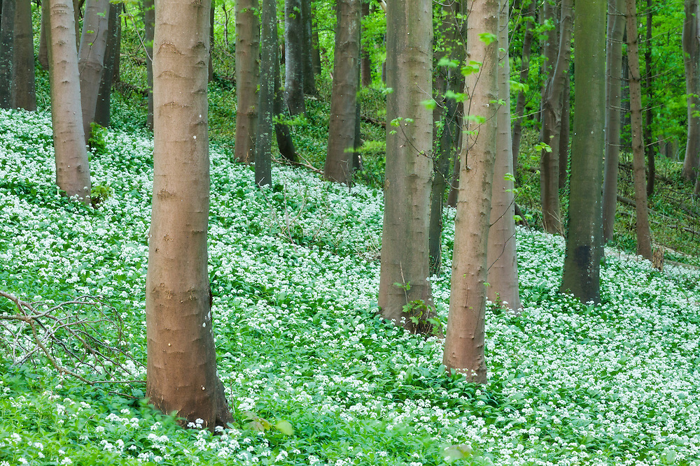 Ramsons (Allium ursinum) in bloom in beech woodland, Winterborne Abbas, Dorset, England, UK