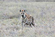 Spotted (Laughing) Hyena in African habitat