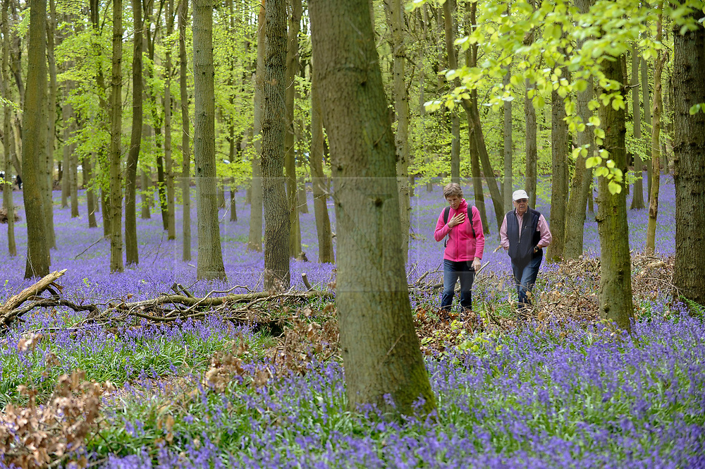 © Licensed to London News Pictures. 25/04/2018. ASHRIDGE, UK.  Visitors walk on a pathway amongst the bluebells in bloom in Dockey Wood, Hertfordshire.   As the popular location experiences high numbers of visitors, the National Trust has imposed an entrance fee in recent years and, this year, has built barricades of twigs and branches to clearly demarcate pathways in order to protect the delicate flowers from being trampled.    Photo credit: Stephen Chung/LNP