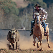 2017-08 Dorrigo Campdraft, NSW