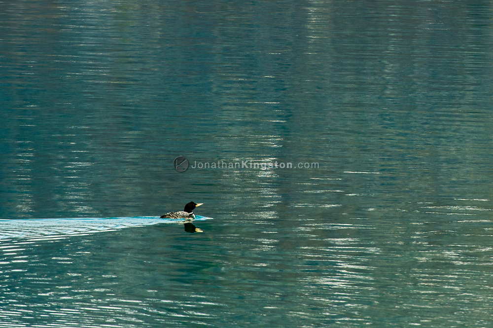 Yellow-billed Loon (Gavia adamsii) swimming in Glacier Bay Park.