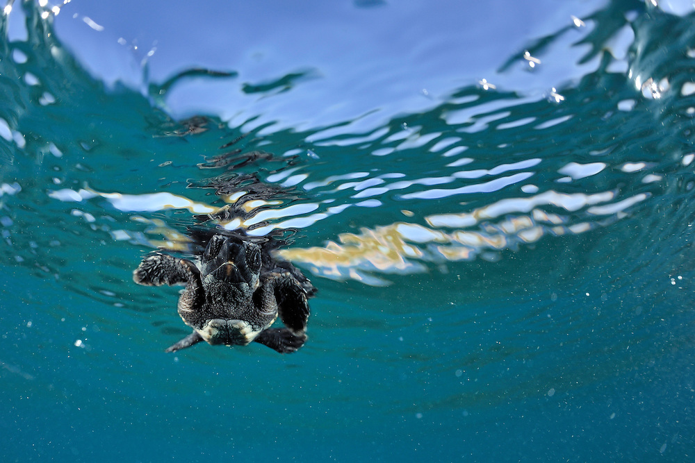 With the simultaneous fore-flippers stroke of underwater-flight the tiny Loggerhead Sea Turtle (Caretta caretta) swims, dives and surfaces at an astonishing speed.