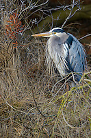 Great Blue Ardea herodias Heron, Chincoteague National Wildlife Refuge, Virginia, USA