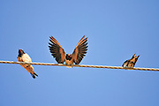 Three Barn swallows (Hirundo rustica) perched on a wire. Swallows are seasonal visitors to the northern hemisphere, migrating long distances south in the winter. They breed in North America and Eurasia, building a mud bowl nest on the wall or roof of a building or inside caves. Swallows inhabit open country near water and are strong and accomplished fliers, spending much of their time airborne, feeding on flying insects. Photographed in Israel in November.
