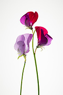 Still Life flowers photo print, pruple petals, sweet peas, pink, red, Santa Monica wall art photography limited edition matted print, fine art.