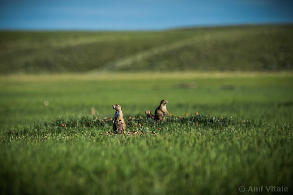 Prairie dogs give warning calls on the Matador ranch where 13 ranching families work together in Eastern Montana  at a &quot;grass bank&quot;. The &ldquo;grass bank&quot; is an innovative way to leverage conservation gains, in which ranchers can graze their cattle at discounted rates on Conservancy land in exchange for improving conservation practices on their own &ldquo;home&rdquo; ranches. In 2002, the <br /> Conservancy began leasing parts of the ranch to neighboring ranchers who were suffering from  severe drought, offering the Matador&rsquo;s grass to neighboring ranches in exchange for their  participation in conservation efforts. The grassbank has helped keep ranchers from plowing up native grassland to farm it; helped remove obstacles to pronghorn antelope migration; improved habitat for the Greater Sage-Grouse and reduced the risk of Sage-Grouse colliding with fences; preserved prairie dog towns and prevented the spread of noxious weeds. (Photo By Ami Vitale)