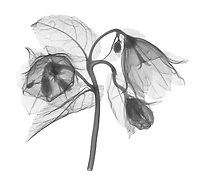 X-ray image of a 'Wedding Bells' bellflower (Campanula punctata 'Wedding Bells', black on white) by Jim Wehtje, specialist in x-ray art and design images.