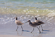 Group of Willet, Tringa semipalmata, shorebirds, wading on the beach shoreline at Captiva Island, Florida USA