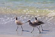 Group of Willet, Tringa semipalmata, shorebirds, wading on the beach shoreline at Captiva Island, Florida USA