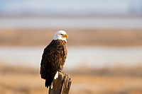 A mature Bald Eagle perches on an old fence post in Box Elder County in northern Utah.