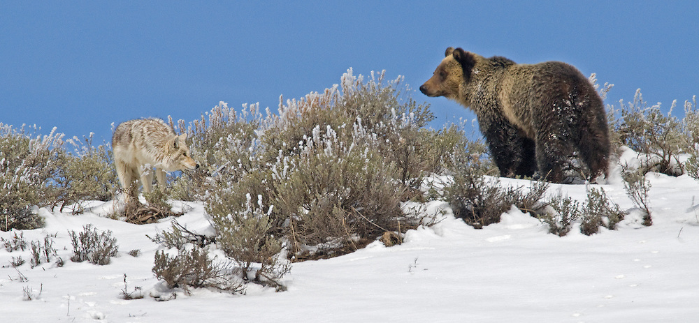 After over an hour of interaction, this coyote appears more comfortable with the young grizzly. Perhaps because he succeeded in luring the bear away from his den site. A few moments later, they both disappeared over the hillside.
