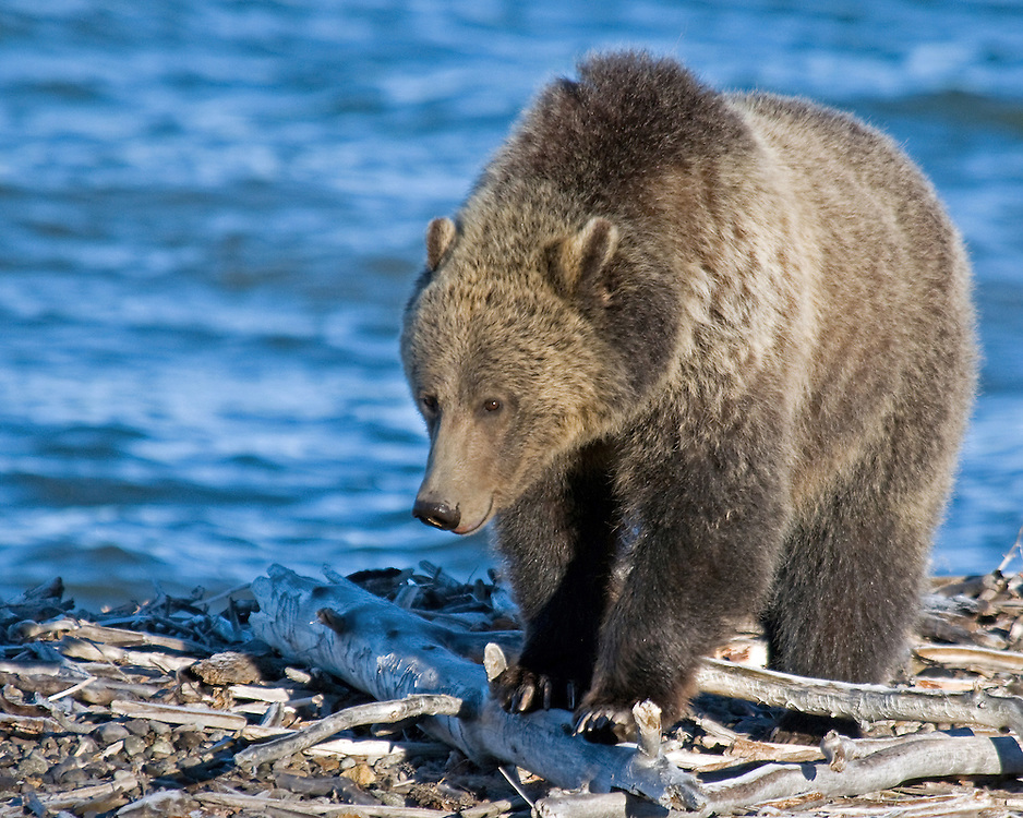 A grizzly searches for cutthroat trout washed up along Sedge Bay in Yellowstone Park. Cutthroat trout, along with army cutworm moths, whitebark pine nuts, grasses and sedge provide the bulk of the summer diet of grizzlies in the Greater Yellowstone Ecosystem.