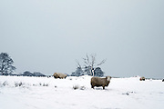 © Licensed to London News Pictures. 04/03/2016. Edale, UK. Sheep in the snow.  Ramblers and walkers in fresh snow on Kinder Scout in Edale 5th March 2016.  Photo credit : Stephen Simpson/LNP