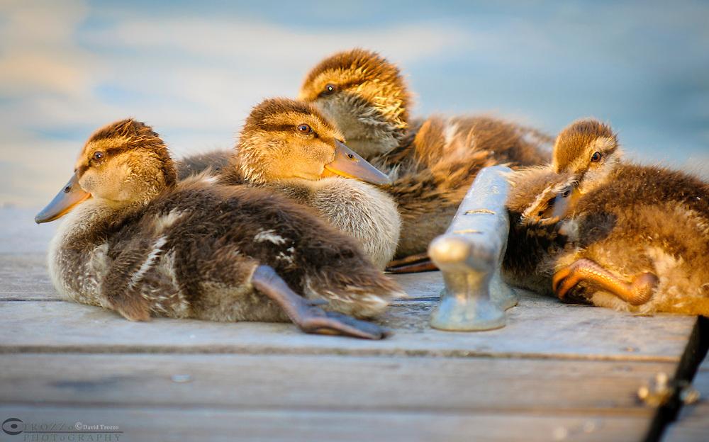 Mallard ducklings, Anatidae anseriformes, warm themselves in the evening sunlight