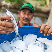 CAPTION: Preparing fish to be taken to a nearby market. LOCATION: Tapak, Semarang, Indonesia. INDIVIDUAL(S) PHOTOGRAPHED: Unknown.